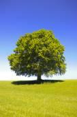 Single big old beech tree — Zdjęcie stockowe
