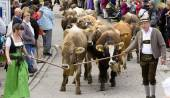 Herd of cows returns from mountain pasture to cowshed at autumn and it is a celebrated event in Germany - named in german language: Almabtrieb or Viehscheid — Stock Photo