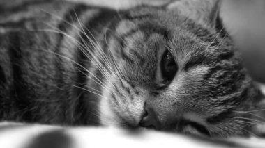 Kot jest leżący na kanapie i patrząc na kamery — Wideo stockowe