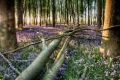 Fallen tree in bluebells — Stock Photo