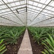 Постер, плакат: Fresh Pineapples Growing into Glasshouse