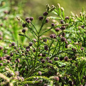 Green Prickly Branches with Bumps of Coniferous Tree — Stock Photo