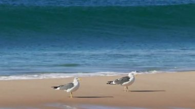 Seagulls Sitting  on Beach — Stockvideo