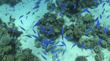 Shoal of blue fishes — Vídeo de stock