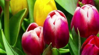 Bouquet of Bright Tulips Blooms — Vídeo de Stock