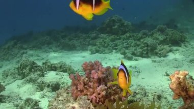 Pajac anemonefish w coral reef — Wideo stockowe