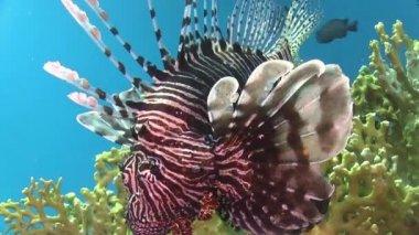 африканский рыба кораллового рифа — Стоковое видео
