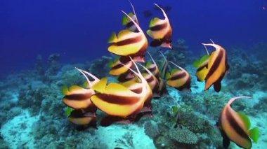 Тропический баннер рыбы на живой коралловый риф — Стоковое видео