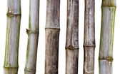 Dry stalks of bamboo — Stock Photo