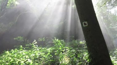 Mist and sunbeams in the forest — Stock Video