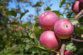 Apple orchard — Stock Photo