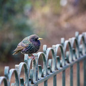 Juvenile male on fence — Stock Photo