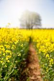 Rape flower selective focus — Stock Photo