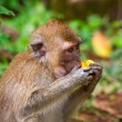 Macaque monkey in widelife — Stock Photo #52610607