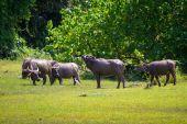 Buffalo in wildlife — Stock Photo