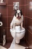 French bulldog sitting on toilet — Stock Photo