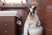 French bulldog sitting on toilet — Stock Photo