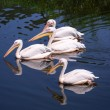 Great white pelicans — Stock Photo #53091067