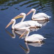 Great white pelicans — Stock Photo #53091081