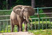 Elefante africano — Foto Stock