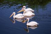 Pelícanos blancos grandes — Foto de Stock