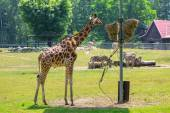 Giraffe in the wildlife — Stock Photo