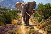 African elephant in wildlife — Stock Photo