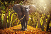 Elephant walking on autumnal alley — Stock Photo