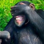Chimpanzee in the zoo — Stock Photo #53361683