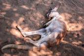 Australian kangaroo sleeping on the ground — Stock Photo