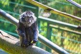 O macaco langur de java — Fotografia Stock