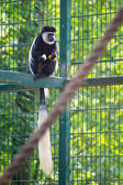 Mantled guereza — Stock Photo