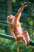 The Javan langur monkey — Stock Photo