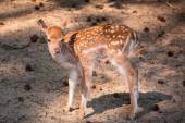 Young roe deer — Stock Photo