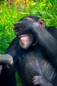 Chimpanzee in the zoo — Stock Photo
