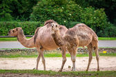 Camels in the zoo — Stock Photo
