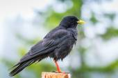 Alpine chough bird — Foto de Stock