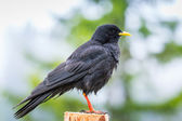 Alpine chough bird — 图库照片