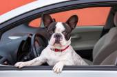 Dog in the car — Stock Photo