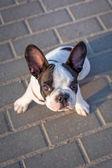 French bulldog puppy — Stock Photo