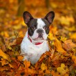 French bulldog in autumnal scenery — Stock Photo #57487537
