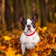 French bulldog in autumnal scenery — Stock Photo #57487545