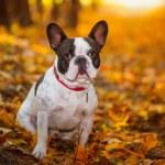 French bulldog in autumnal scenery — Stock Photo #57487603