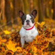 French bulldog in autumnal scenery — Stock Photo #57487613
