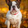 French bulldog in autumnal scenery — Stock Photo #57487711