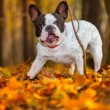 French bulldog in autumnal scenery — Stock Photo #57487731