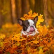 French bulldog in autumnal scenery — Stock Photo #57487769