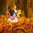 French bulldog in autumnal scenery — Stock Photo #57487813