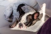 French bulldog lying on the couch — Stock Photo