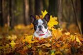 French bulldog in autumnal scenery — Stock Photo